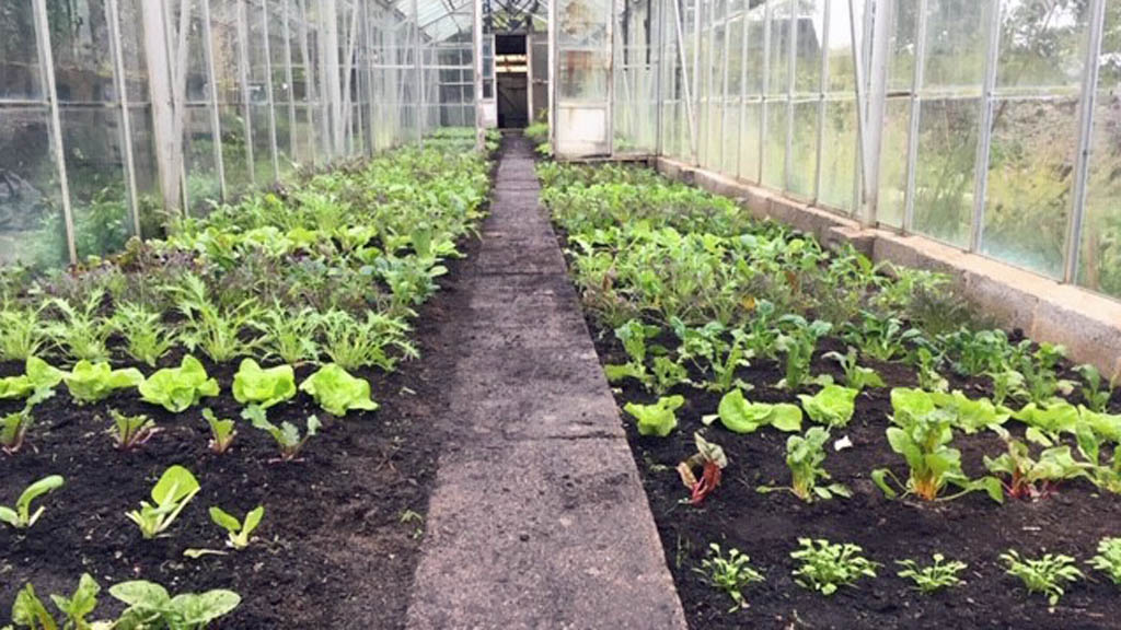 November planting in the repaired greenhouse