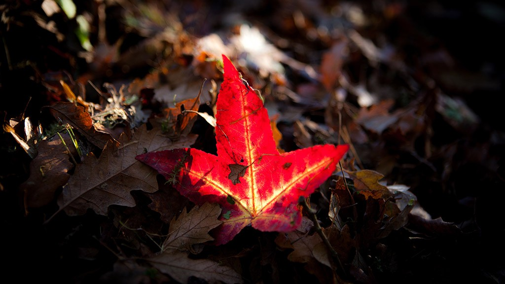 Autumn Leaf in Dartington Gardens (c) Kim Aldis