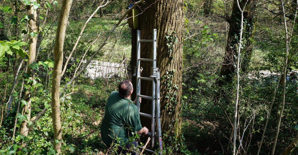 Estate Warden Mike Newby checks a nesting box in Nellie's Wood