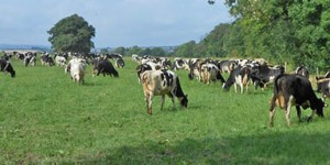 Cows at Old Parsonage Farm