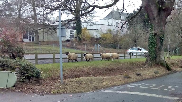 Sheep on the loose near Jolly Farm