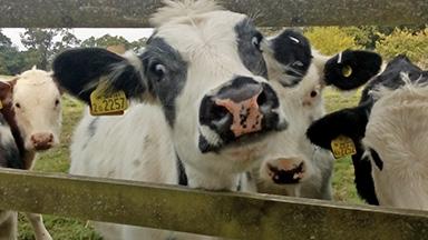 Cow # 2257