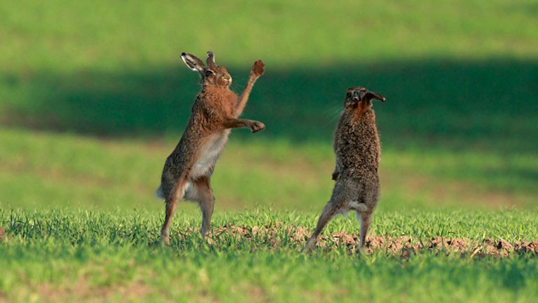 March hares (image: RSPB)