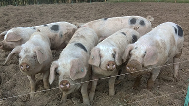 Pigs behinf wire