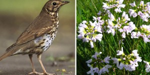 Thrush with spring flowers