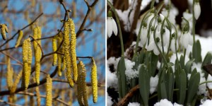 Catkins and snowdrops