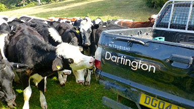 Cows take an interest in the volunteers at the Sewage Field