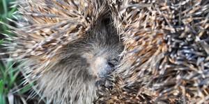 Curled-up hedgehog