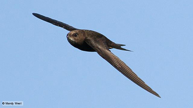 Swift in flight. (c) Mandy West