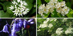 Clockwise from top left: Wild garlic flowers, white hawthorn, elderflowers, bluebells