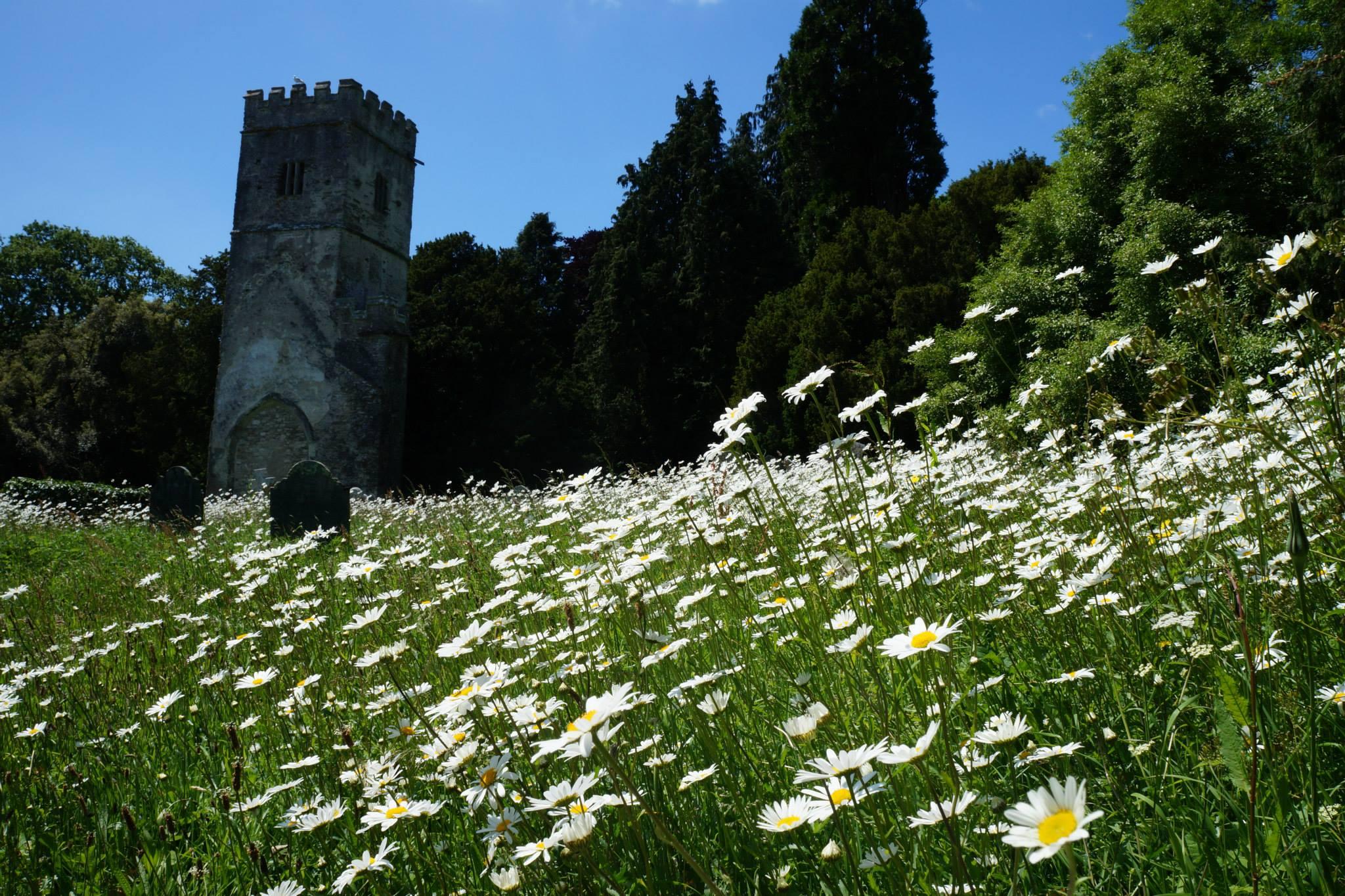Daisies near St Mary's Church Tower, June 15