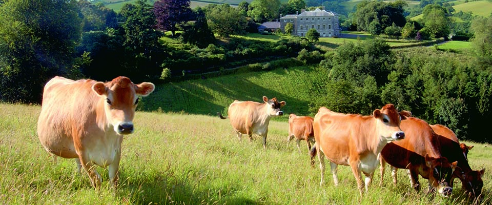 Sharpham's Jersey cows come to Dartington