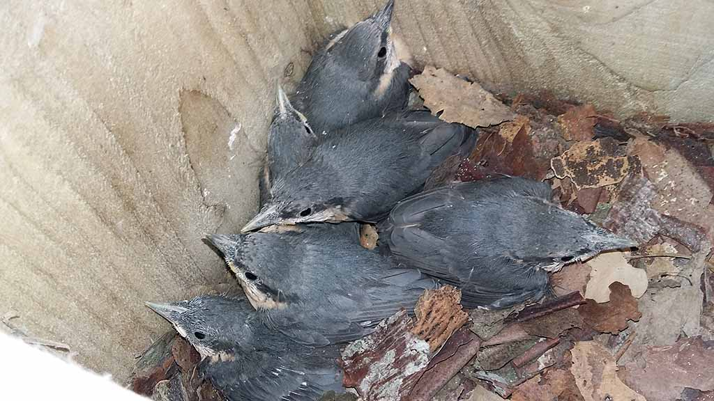 Nuthatches at three weeks