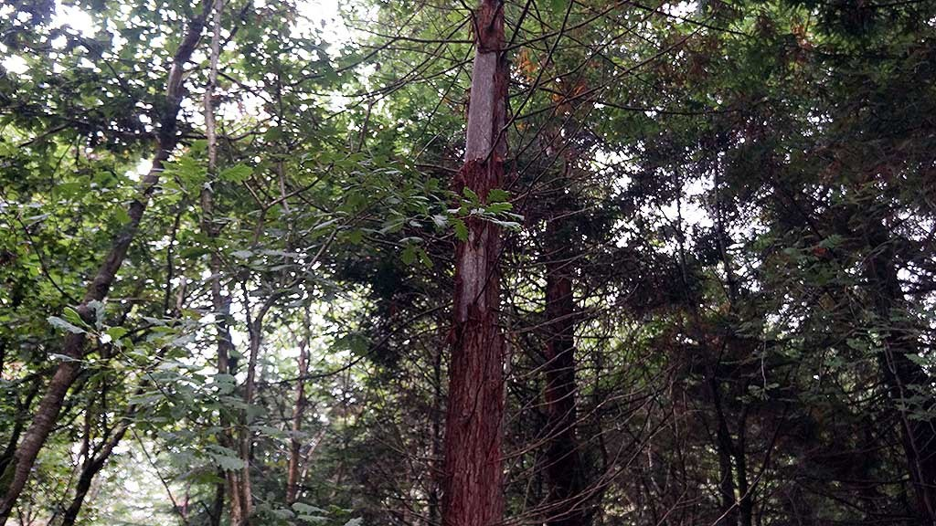 Redwood denuded by squirrels in North Wood