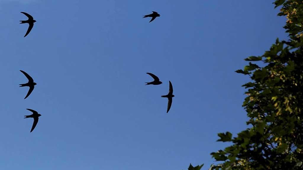 Swallows in flight. Image: RSPB