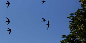 Swallows in flight. Image: RSPB