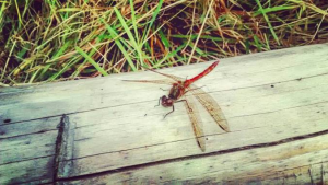 A red darter watching us work
