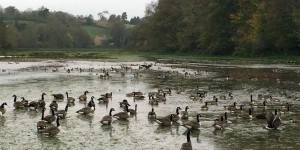 Canada Geese at Queen's Marsh