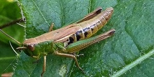 Meadow Grasshopper. Photograph taken by Vicky Churchill, Woodlands and Conservation Volunteer, in one of the grasslands on the Dartington estate