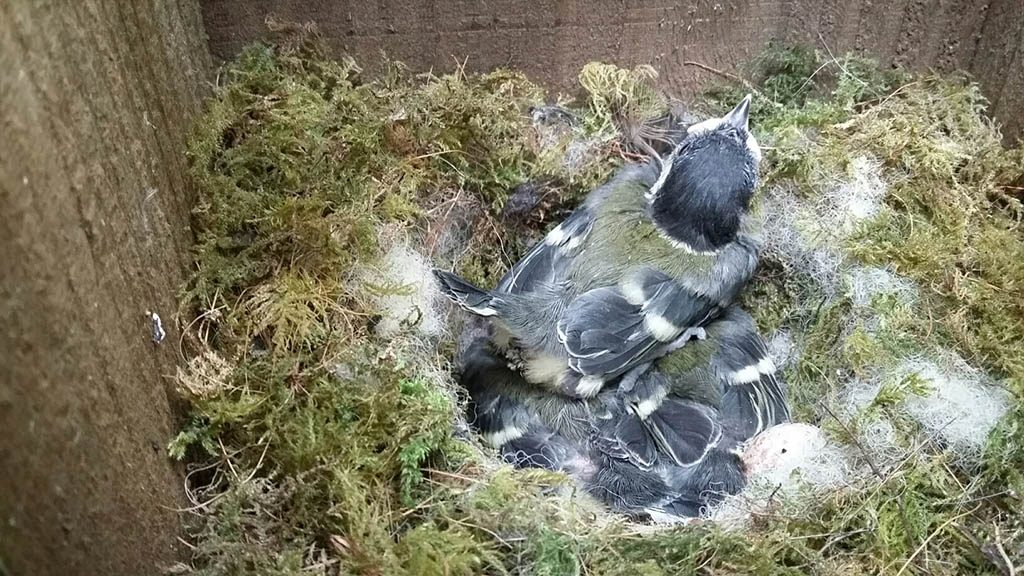 Great Tit sitting on her nest with chicks. Photograph: Vicky Churchill, Woodlands and Conservation Volunteer