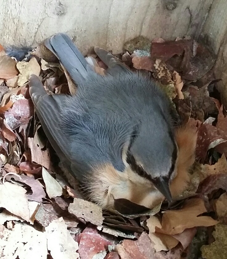 Nuthatch brooding. Photograph: Vicky Churchill, Woodlands and Conservation Volunteer