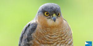 Male Sparrowhawk (RSPB)