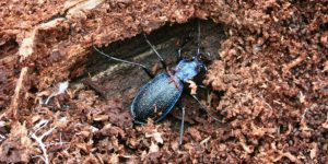 Blue ground beetle. Image (c) Dartmoor National Park Authority