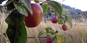 Apples growing at Community Orchard, Week
