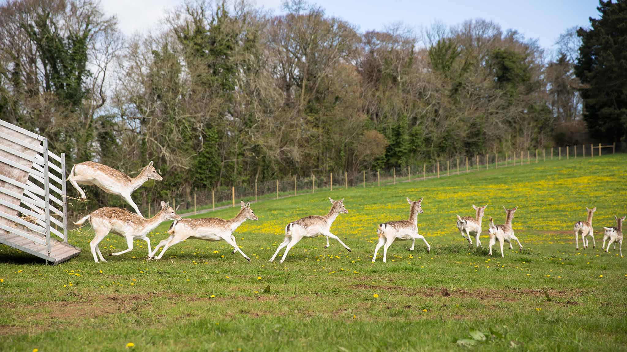 Fallow deer arrive at Dartington. Photo: Into the Woods Photography