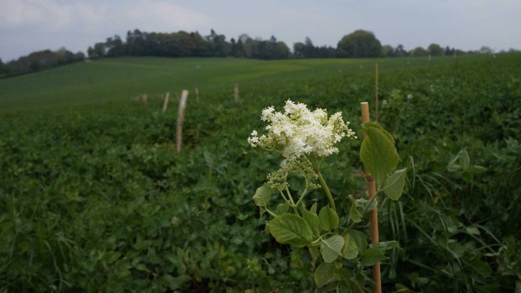 Elderflower blossom with plant row in background