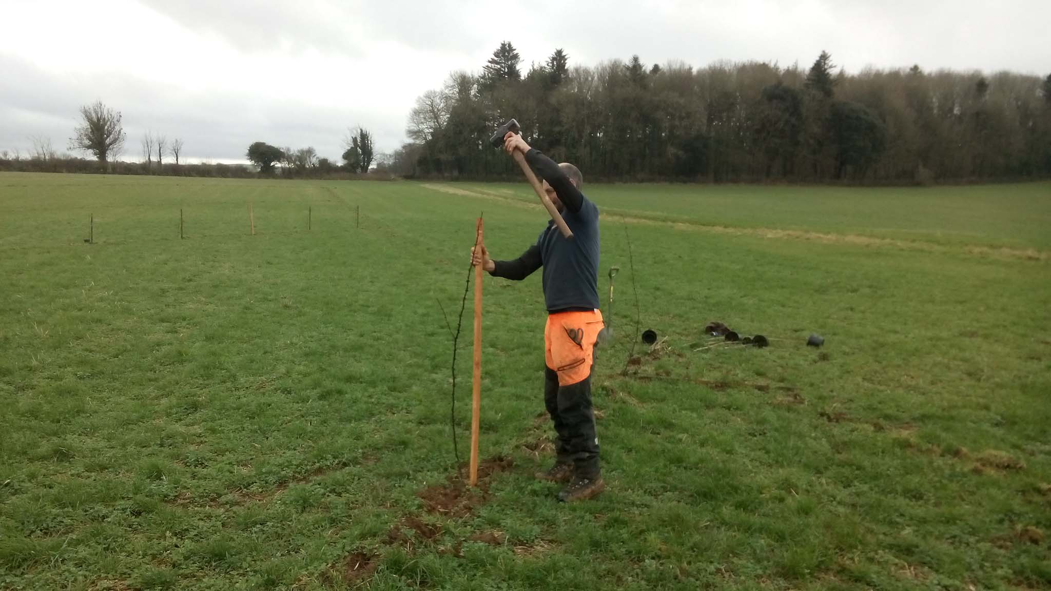 Dartington Hall's Tree Warden, David, staking the Sichuan pepper trees