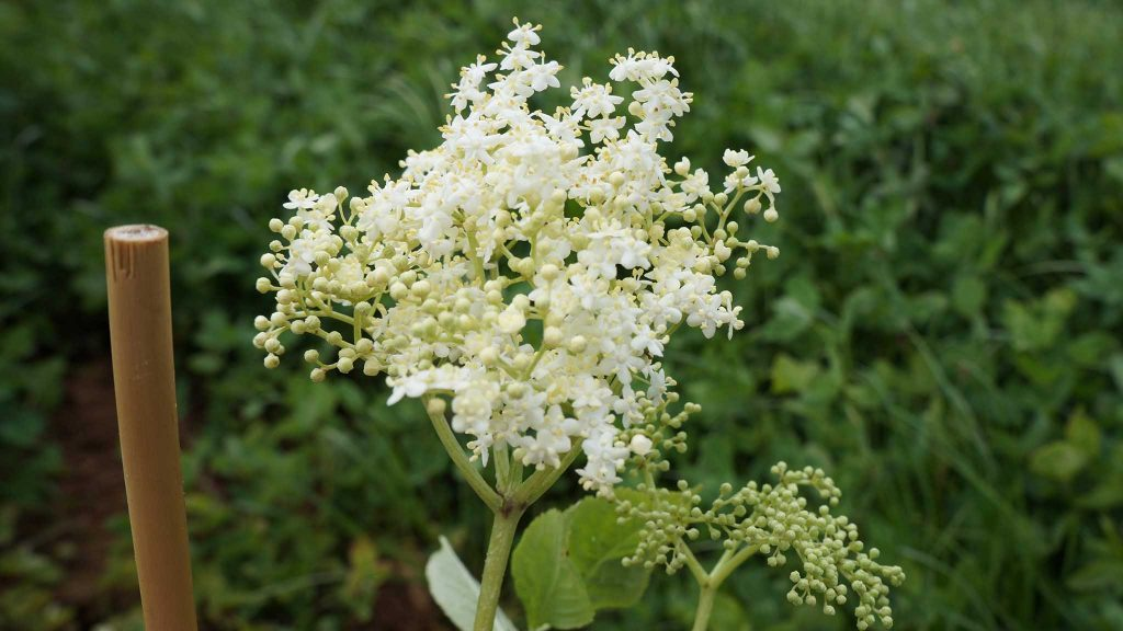 Elderflower blossom, close-up