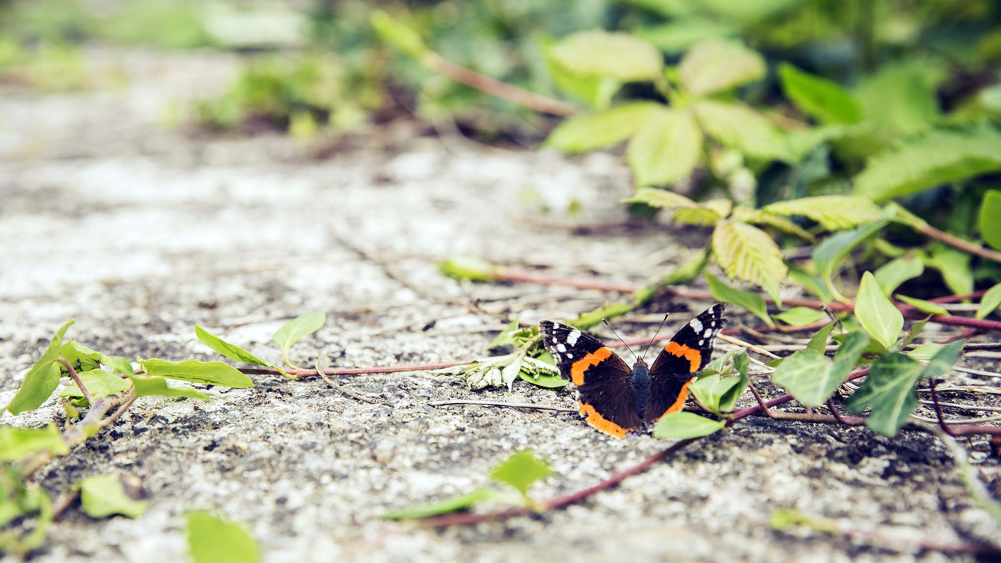 Volunteer Opportunity: Butterfly Conservation