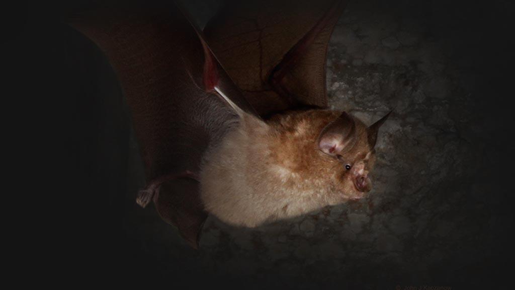 Greater Horseshoe bat (image: Devon Greater Horseshoe Bat Project)