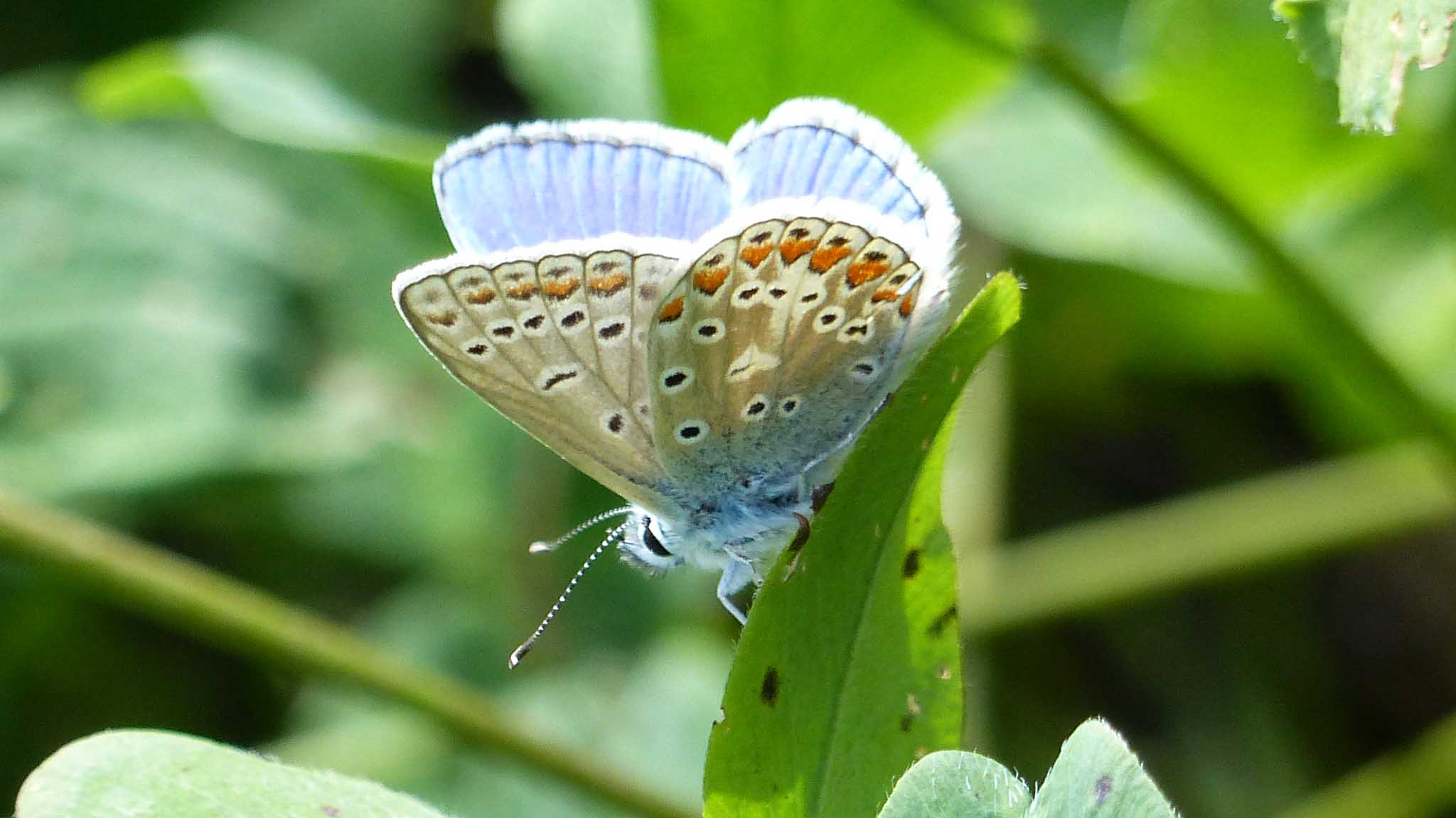 Common Blue. Photo by Steve Turner