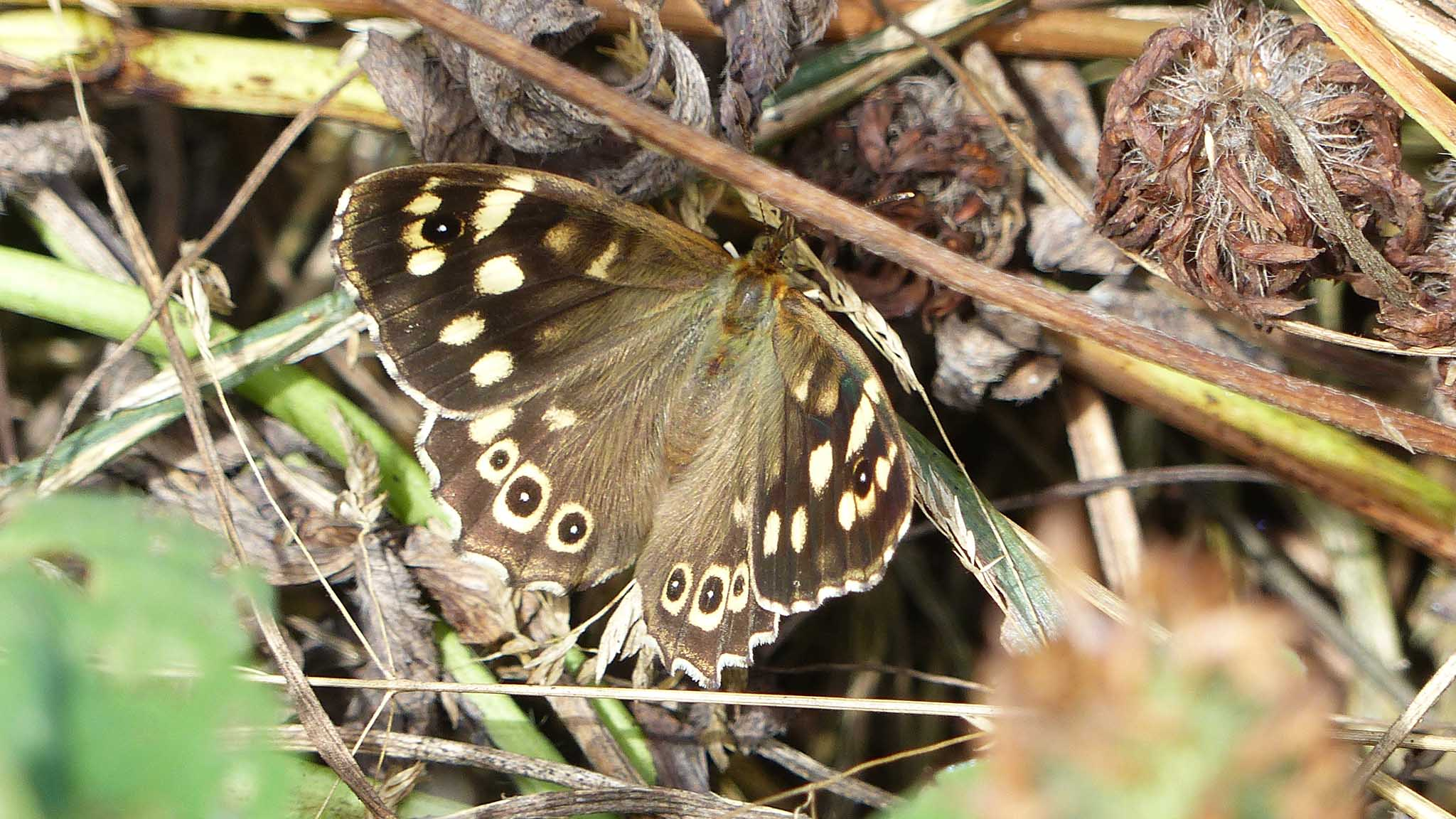Speckled Wood. Photo by Steve Turner