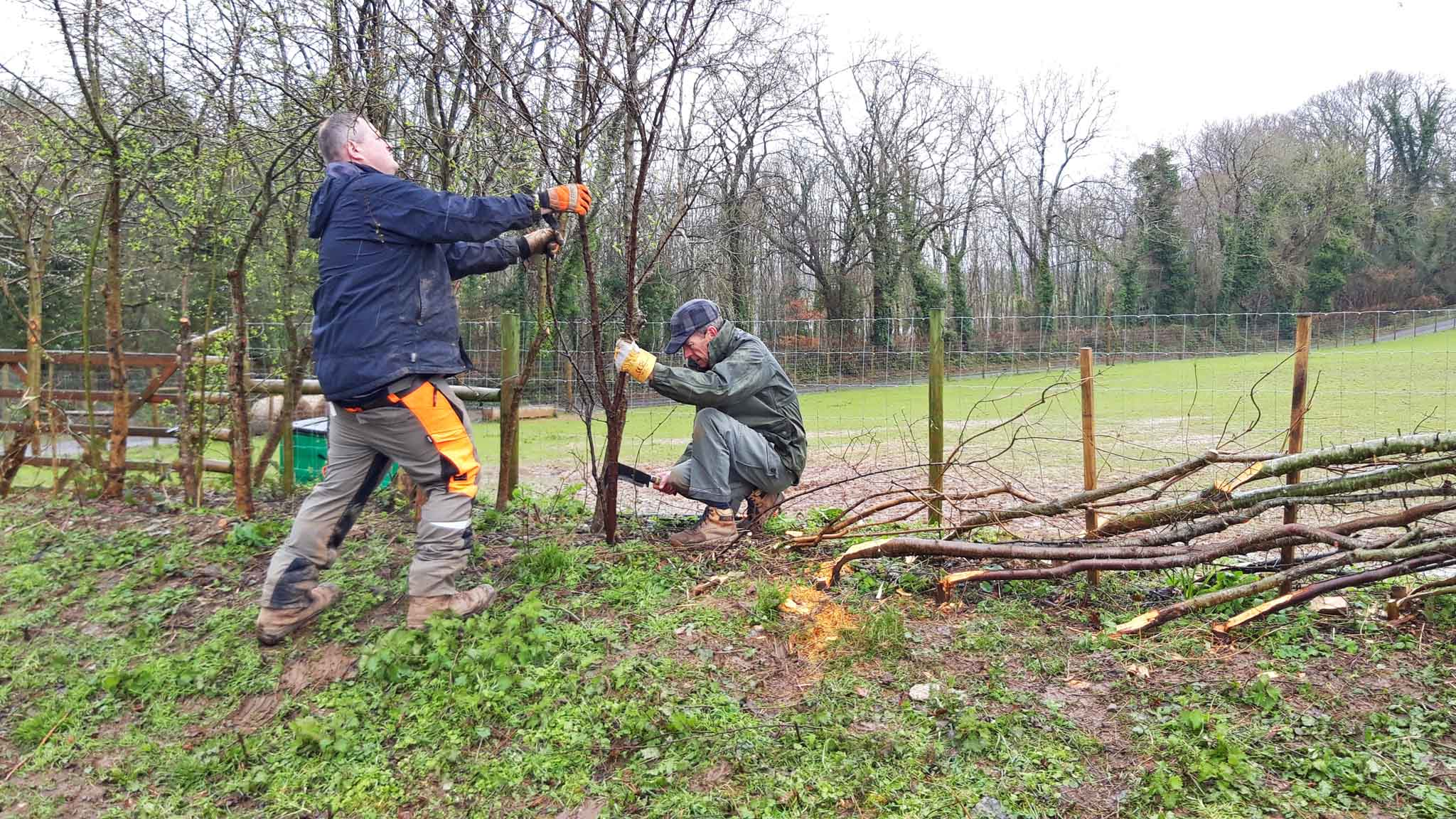 Mike Newby (left) laying hedges at Dartington. Credit: Vicky Churchhill