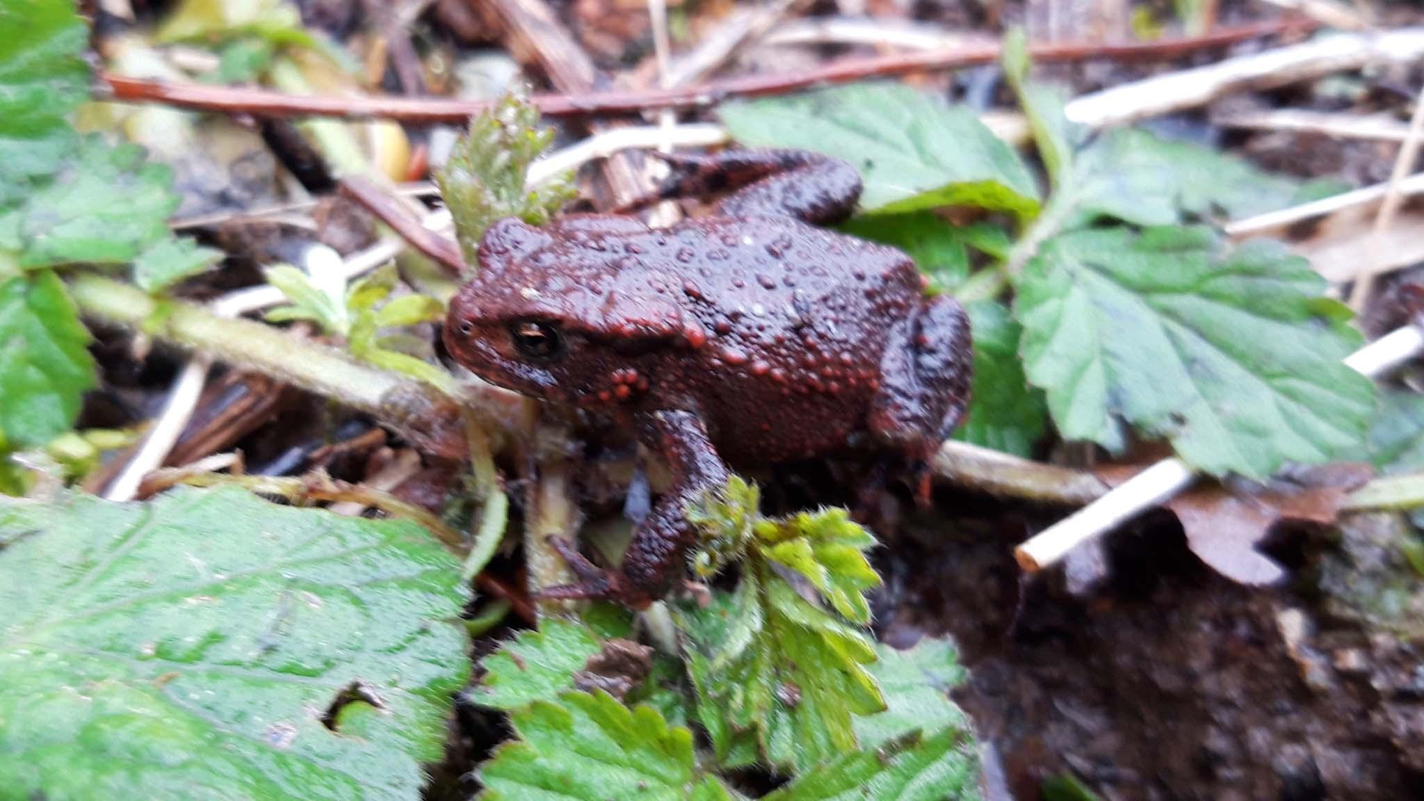 Toad seen at Dartington. Credit: Vicky Churchhill