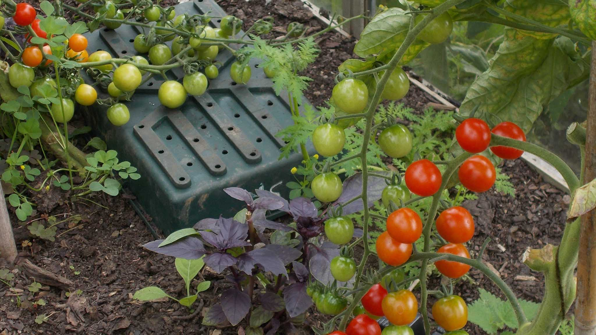 Tomatoes in the Walled Garden greenhouse