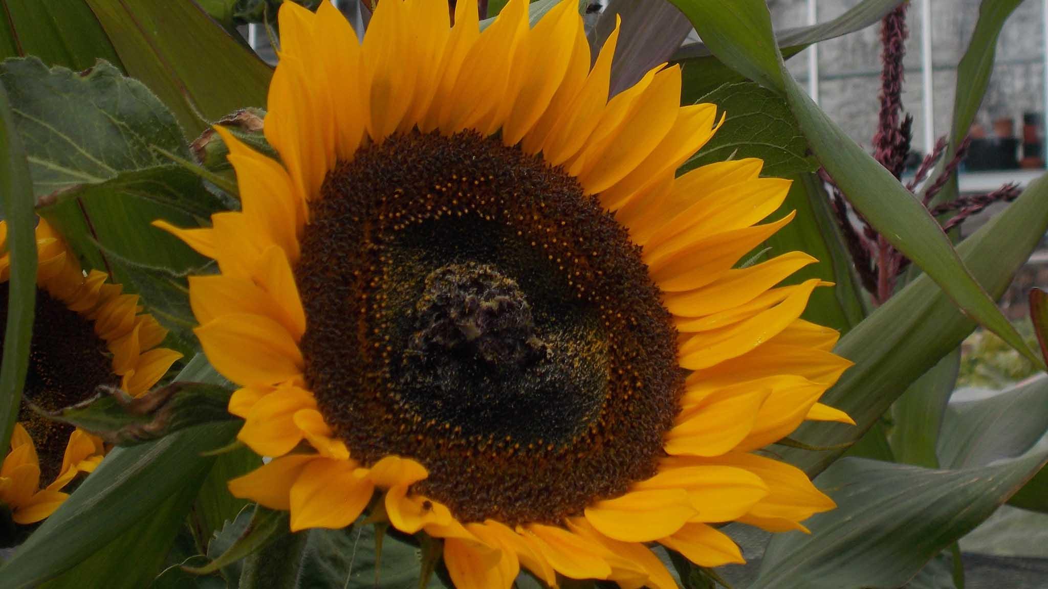 Walled Garden sunflower