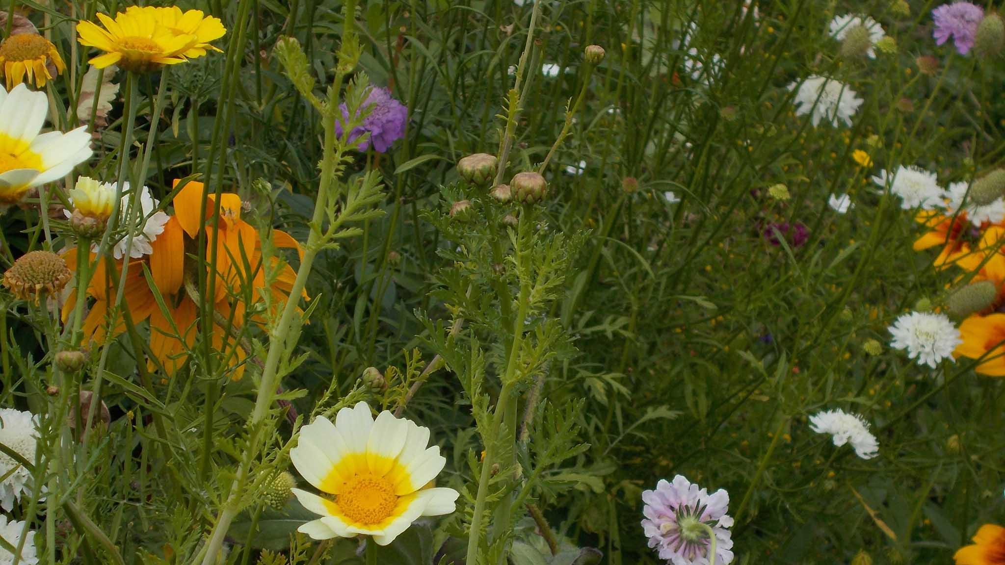 Walled Garden wildflowers