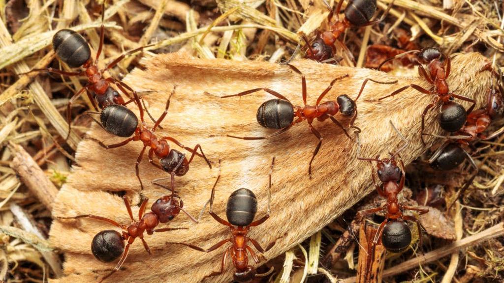 narrow-headed ant