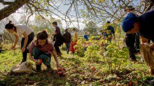 Apple picking on the Dartington estate