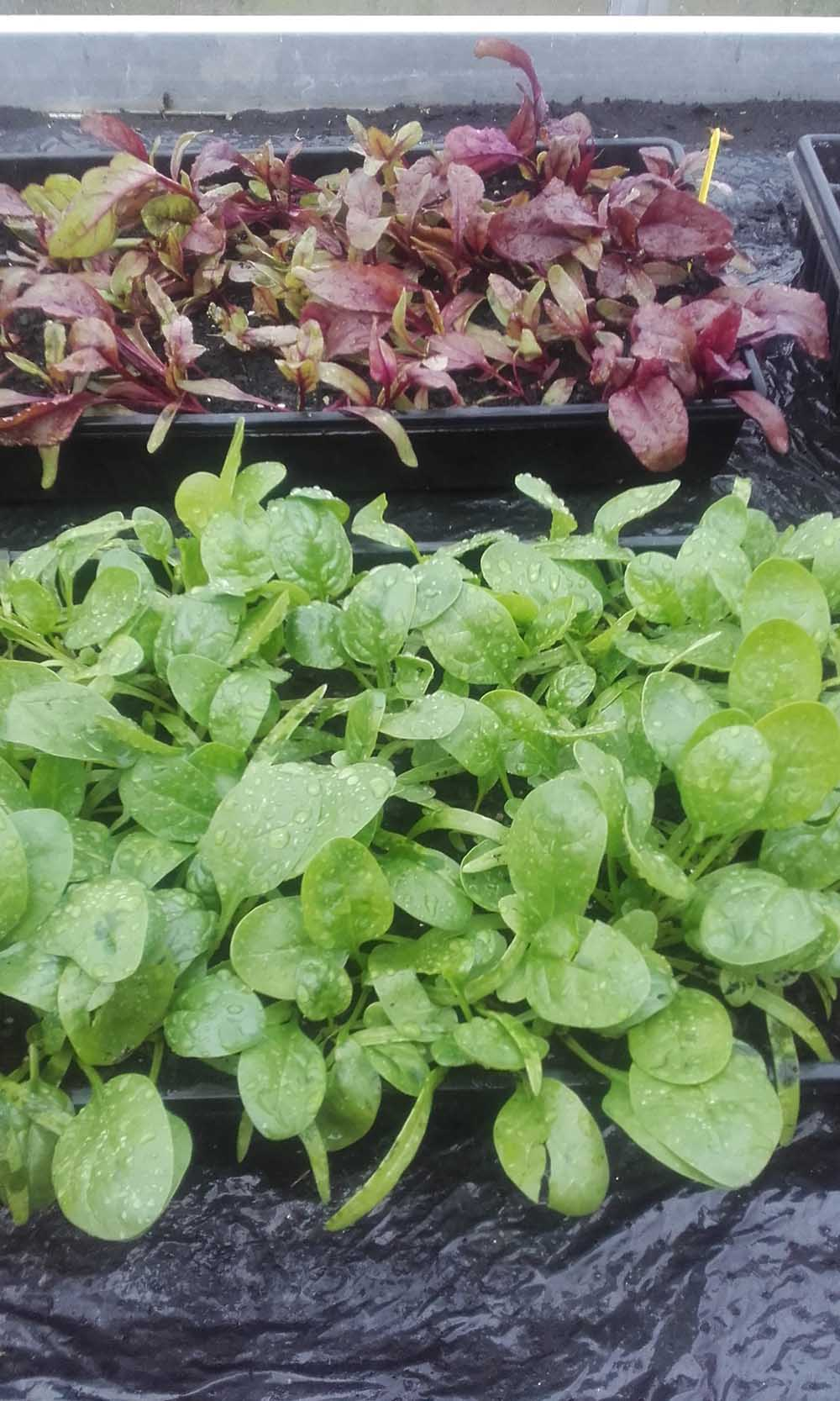 spinach and Bull's Blood beetroot