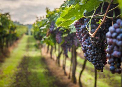 Grape,Harvest
