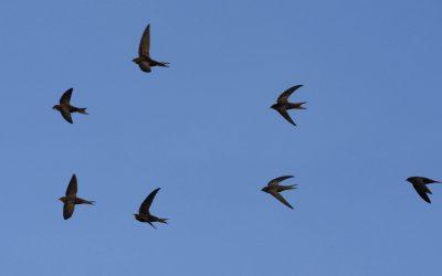 Volunteer blog: Seeking a swift encounter